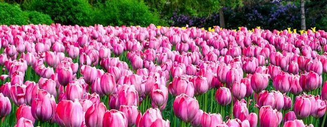 Фестиваль тюльпанів в Стамбулі, Туреччина