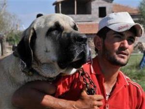 Найбільші собаки анатолії охоронятимуть турецькі музеї
