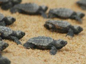 Морські черепахи почали відкладати яйця в хата